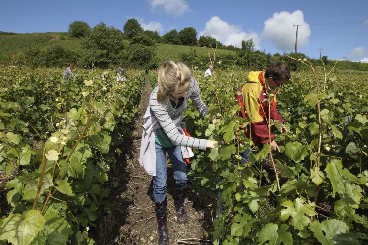 Main d'oeuvre viticole